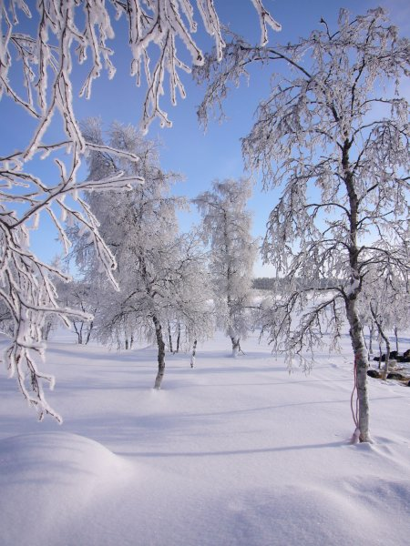 Frosty birch
